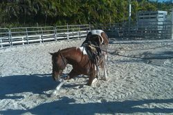 Client's mare Stormy learning how to bow.